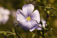 Fiore di lino Fotografia Stock