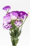 Fiore di Lisianthus Immagine Stock