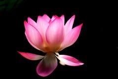 Fiore di loto Immagini Stock Libere da Diritti