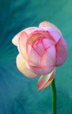 Fiore di loto Immagine Stock