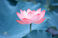 Fiore di loto affascinante fotografie stock libere da diritti