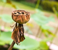 Fiore di loto asciutto Immagine Stock