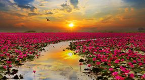 Fiore di loto in aumento del sole Fotografia Stock