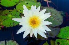 Fiore di loto bianco con polline giallo che fiorisce nello stagno fotografia stock