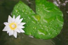 Fiore di loto bianco della ninfea Fotografia Stock