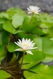 Fiore di loto bianco e fondo delle foglie bello Fotografia Stock