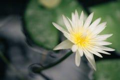 Fiore di loto bianco e giallo Immagine Stock Libera da Diritti