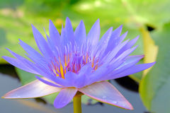 Fiore di loto blu Immagini Stock Libere da Diritti