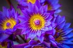 Fiore di loto blu Fotografie Stock Libere da Diritti