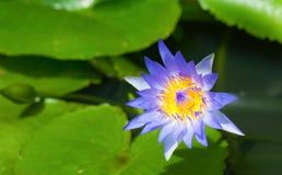 Fiore di loto blu scuro (acqua lilly) e foglia con il fuoco molle Fotografie Stock Libere da Diritti