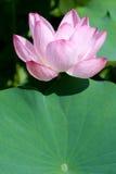Fiore di loto con il foglio Fotografia Stock