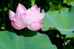 Fiore di loto con il foglio Immagine Stock