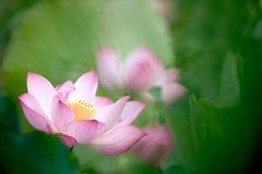 Fiore di loto con verde al suolo posteriore piacevole Immagini Stock Libere da Diritti