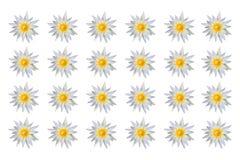 Fiore di loto del modello Fotografia Stock