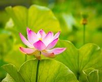 Fiore di loto del primo piano Immagini Stock