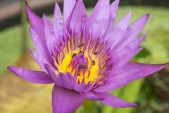 Fiore di loto del primo piano Fotografia Stock Libera da Diritti