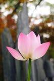 Fiore di loto dentellare Fotografie Stock Libere da Diritti