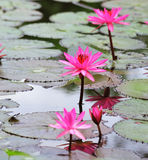 Fiore di loto dentellare Fotografia Stock Libera da Diritti