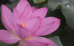 Fiore di loto dentellare Fotografia Stock