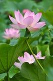 Fiore di loto dentellare del fiore Immagine Stock Libera da Diritti
