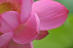 Fiore di loto dentellare del fiore Immagini Stock Libere da Diritti