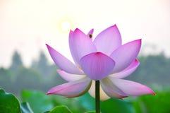 Fiore di loto dentellare del fiore Immagine Stock