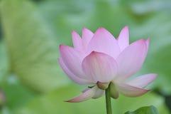 Fiore di loto dentellare del fiore Fotografie Stock