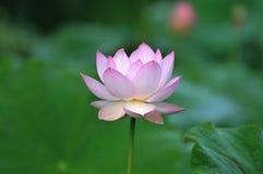 Fiore di loto dentellare del fiore Immagini Stock