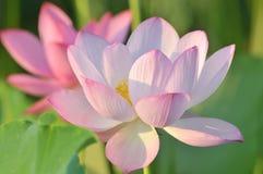 Fiore di loto dentellare del fiore Fotografia Stock Libera da Diritti