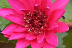 Fiore di loto dentellare di fioritura Fotografie Stock