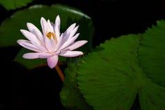 Fiore di loto di fioritura Immagini Stock