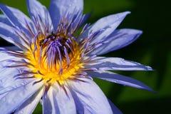 Fiore di loto di fioritura Immagine Stock