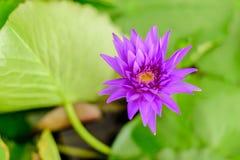 Fiore di loto di fioritura piacevole Fotografie Stock Libere da Diritti
