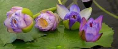 Fiore di loto di fioritura piacevole Immagini Stock