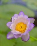 Fiore di loto di fioritura piacevole Fotografia Stock