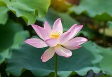Fiore di loto di fioritura Fotografia Stock