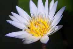 Fiore di loto in fioritura Immagini Stock