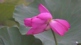Fiore di loto nelle piogge stock footage