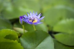 Fiore di loto porpora dell'acqua con le mosche Immagini Stock Libere da Diritti