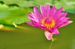 Fiore di loto rosa immagine stock libera da diritti