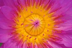 Fiore di loto rosa immagine stock