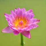 Fiore di loto rosa fotografia stock