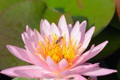 Fiore di loto rosa Immagini Stock Libere da Diritti