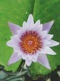 Fiore di loto rosa che fiorisce sulla foglia di Lotus, Tailandia in parco fotografia stock