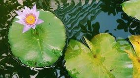Fiore di loto rosa che fiorisce sulla foglia di Lotus, Tailandia in parco immagine stock libera da diritti