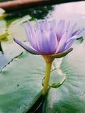 Fiore di loto rosa che fiorisce sulla foglia di Lotus, Tailandia in parco fotografie stock libere da diritti