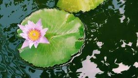 Fiore di loto rosa che fiorisce sulla foglia di Lotus, Tailandia in parco fotografia stock libera da diritti