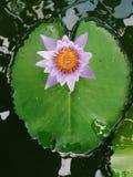 Fiore di loto rosa che fiorisce sulla foglia di Lotus, Tailandia in parco immagini stock