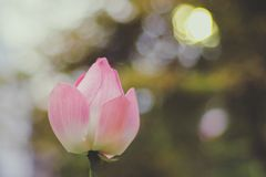 Fiore di loto rosa contro il fondo verde della luce intensa del bokeh della sfuocatura fotografia stock libera da diritti