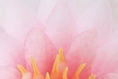 Fiore di loto rosa del petalo Immagini Stock